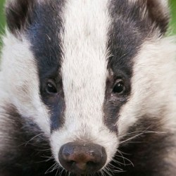 badgers1